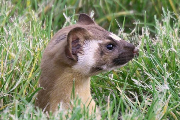 Long-tailed Weasel at King Gillette Ranch by Louise Rishoff