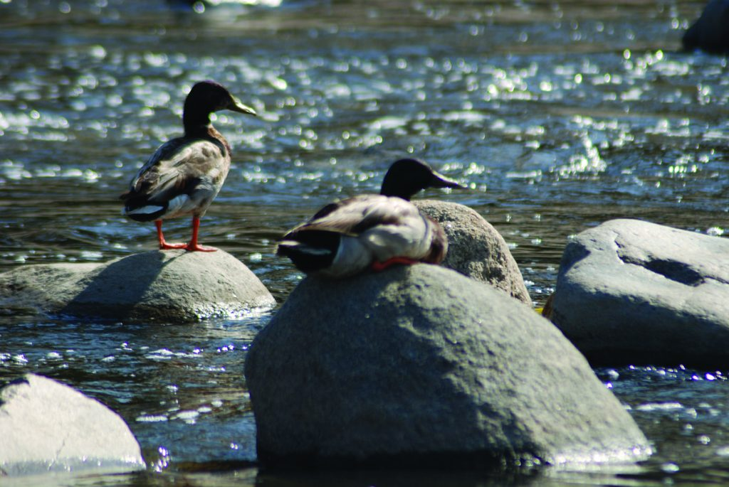 Ducks on the Los Angeles River